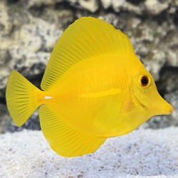 Cirujano Amarillo (Yellow Tang)