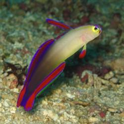 Gobio Fuego Morado (Purple Firefish Goby)