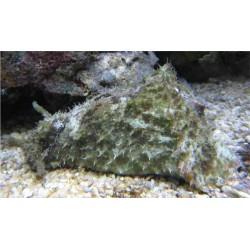 Babosa Come Alga (Sea Hare)