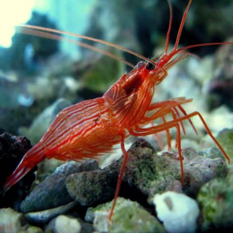 Camarón Pimienta (Peppermint Shrimp)
