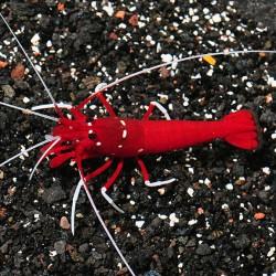 Camarón de Fuego (Fire Shrimp)