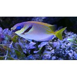 Pez Conejo Scribbled (Scribbled Rabit Fish)