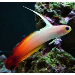 Gobio de Fuego - Naranja (Fire Fish)