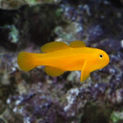 Gobio Payaso Amarillo (Yellow Clown Goby)