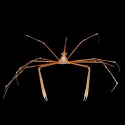 Cangrejo Flecha (Arrow Crab)
