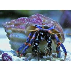 Cangrejo Hermitaño Azul de Arrecife (Blue Leg Reef Hermit)