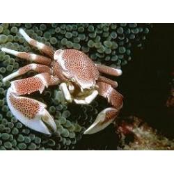 Cangrejo Porcelana o de Anemona (Porcelain Anemone Crab)