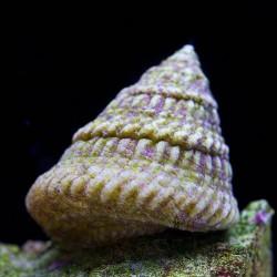 Caracol Astrea (Astrea Snail)