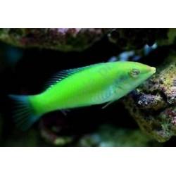 Labrido Coris Verde (Green Coris Wrasse)