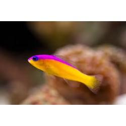 Pseudochromis Diadema (Diadema Pseudochromis)