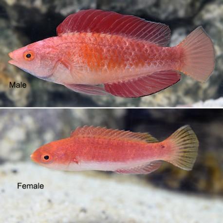 Labrido aleta roja (Red Fin Fairy Wrasse)