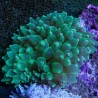 Anemona Burbuja Cuadricolor (Bubble Anemone quadricolor)