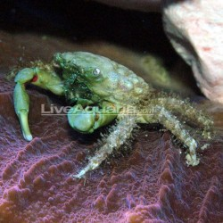 Cangrejo Esmeralda (Emerald Crab)