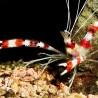 Camaron Bandeado (Coral banded shrimp)