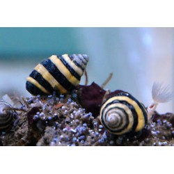 Caracol Abeja (Bumble Bee Snail)