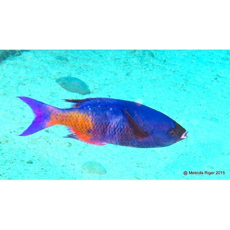 Labrido Creole (Wrasse Creole)