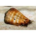 Caracol Tigre Arenero (Tigger Sand Conch Snail)
