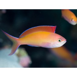 Anthia Dispar Macho (Dispar Anthias-Male)