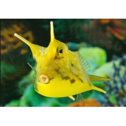 Pez Vaca Amarilla (Long Horned Cowfish)
