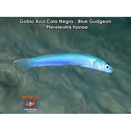 Gobio Azul (Blue Gudgron Goby)