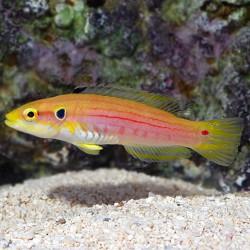 Pez dos Puntos (Twospot Hogfish)