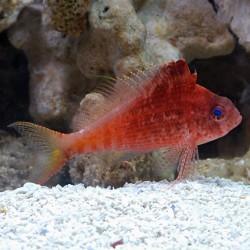 Pez Halcón Rojo (Red Hawk Fish)