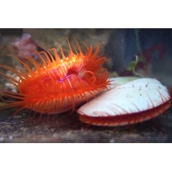 Almeja Electrica (Electric Eye Scallop)