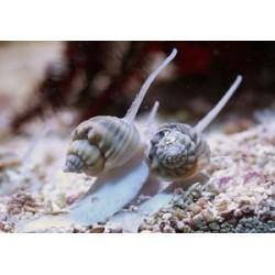 Caracol Nassarius