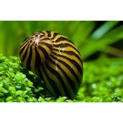 Caracol Cebra (Zebra Snail)