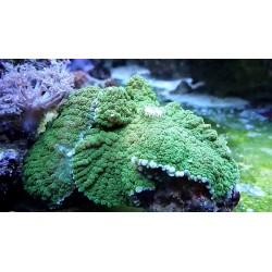 Rhodactis Verde