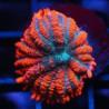 Bullseye Rhodactis (Roja con centro azul)