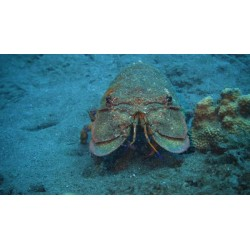Langosta Durmiente (Slipper Lobster)