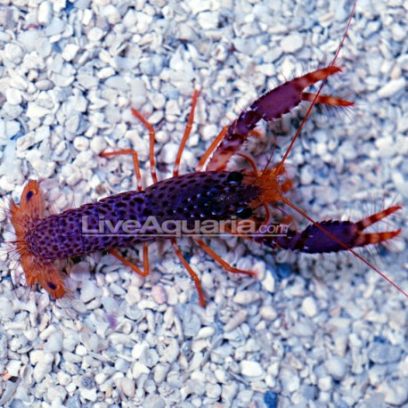 Langosta Roja (Lobster)