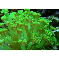 Goniopora Verde