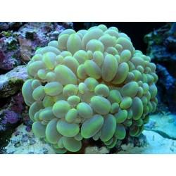 Coral Burbuja