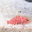 Geometric Pygmy Hawkfish