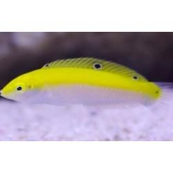Labrido amarillo con blanco (Yellow and white wrasse)