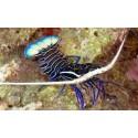 Langosta Azul (Blue Spiny Lobster)