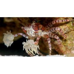 Cangrejo Pom Pom (Pom Pom Crab)