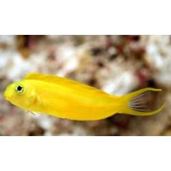 Blenio Canario Amarillo (Canary Blenny Yellow)