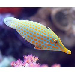 Orange Spot File Fish