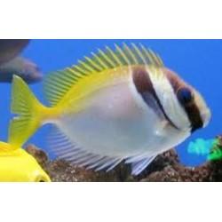 Barred Rabbitfish (Pez Conejo Linea en cara)